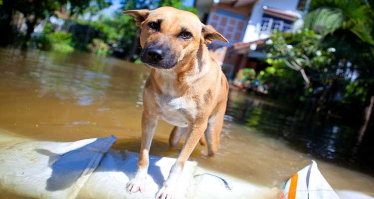 taking-care-of-dog-during-disaster