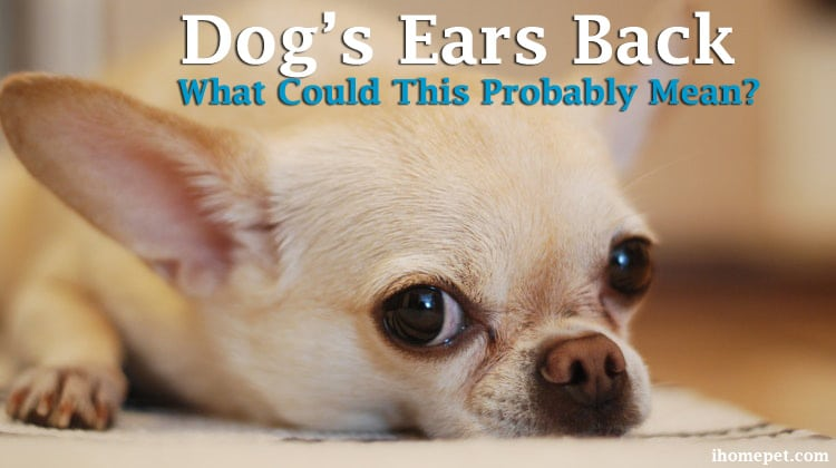 Dog's Ears Back