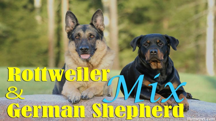 Rottweiler and German Shepherd Mix: Get To Know Your Dog Better