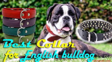 Best Collar for English Bulldog – Choosing the best for your lovely Dog