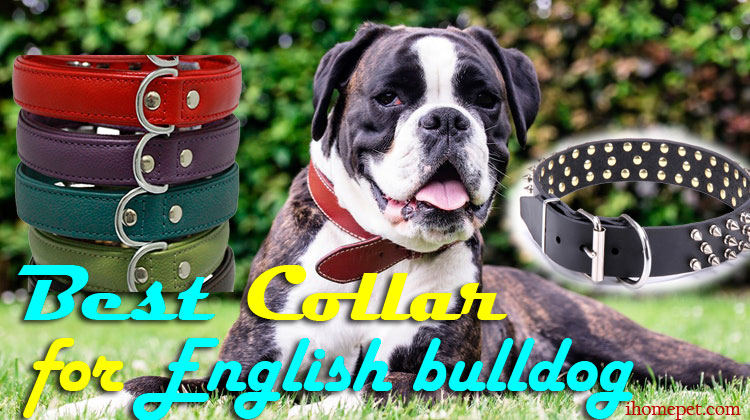 Best Collar for English Bulldog