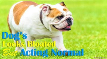 Dog Looks Bloated But Acting Normal: Do You Need To Worry?