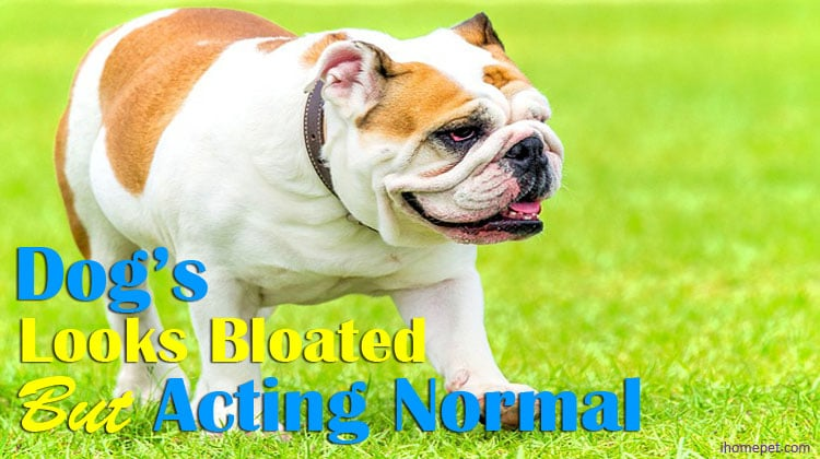 Dog Looks Bloated But Acting Normal(Do You Need To Worry?)