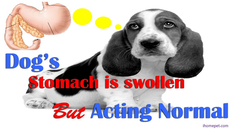 Dog Stomach Swollen Acting Normal(Do you need to panic?)