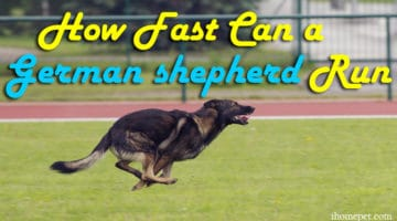 Top Dog Speeds: How Fast Can a German shepherd Run?