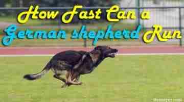 Top Dog Speeds: How Fast Can a German shepherd Run?