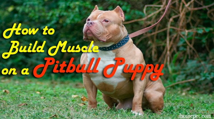 Tips on How to Build Muscle on a Pitbull Puppy
