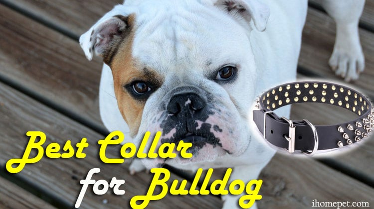 Best Collar for Bulldog