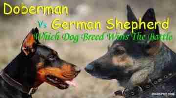Doberman Vs German Shepherd: Which Dog Breed Wins The Battle?