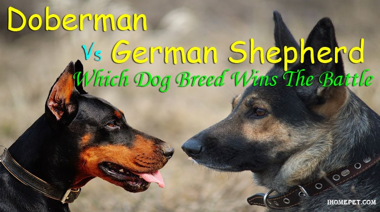 Doberman Vs German Shepherd: Which Dog Breed Wins The Battle?