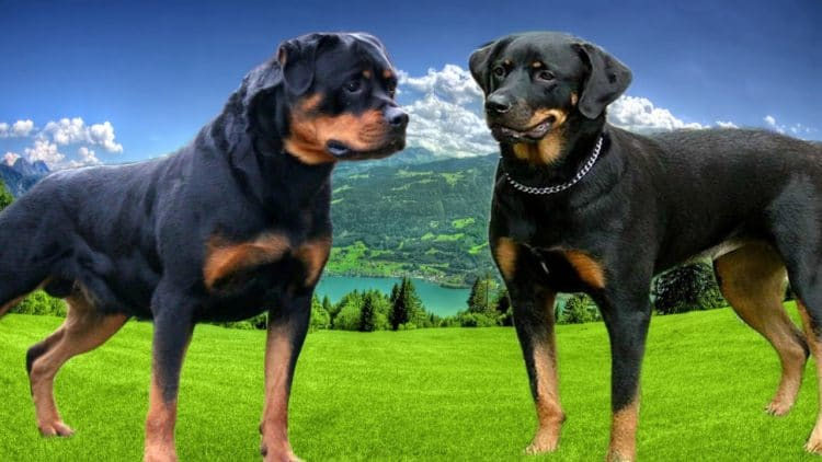 The 5 Cutest Rottweiler Mix Breeds You Need To See Ihome Pets