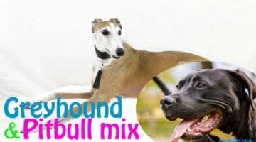 Greyhound Pit Mix(What You Need to Know About Them?)