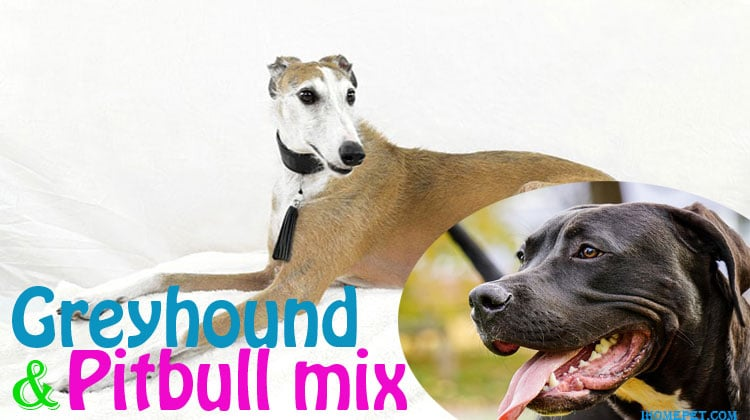 Greyhound-Pit-Mix