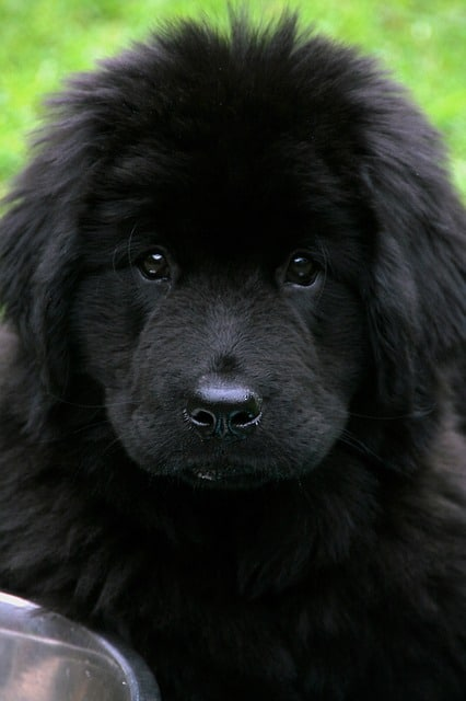 Newfoundland and Rottweiler