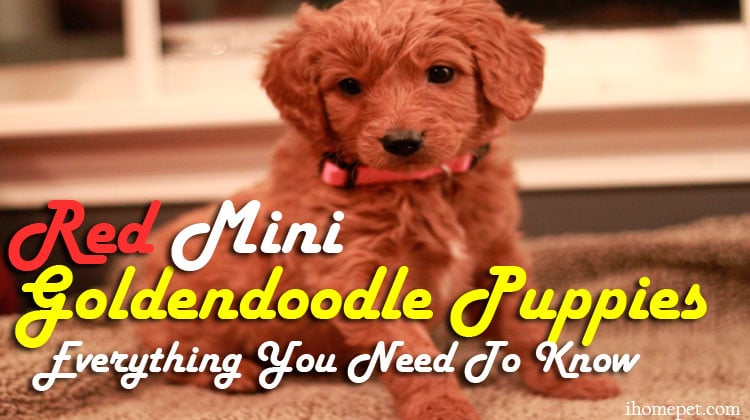 Red Mini Goldendoodle Puppies