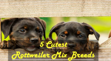 The 5 Cutest Rottweiler Mix Breeds You Need to See!