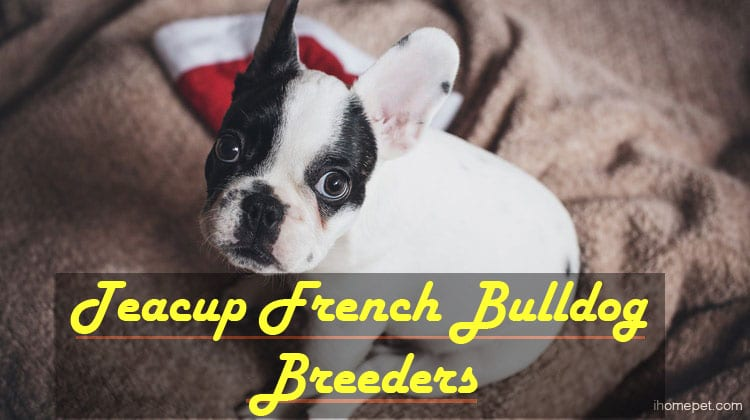 Teacup French Bulldog Breeders: What about?