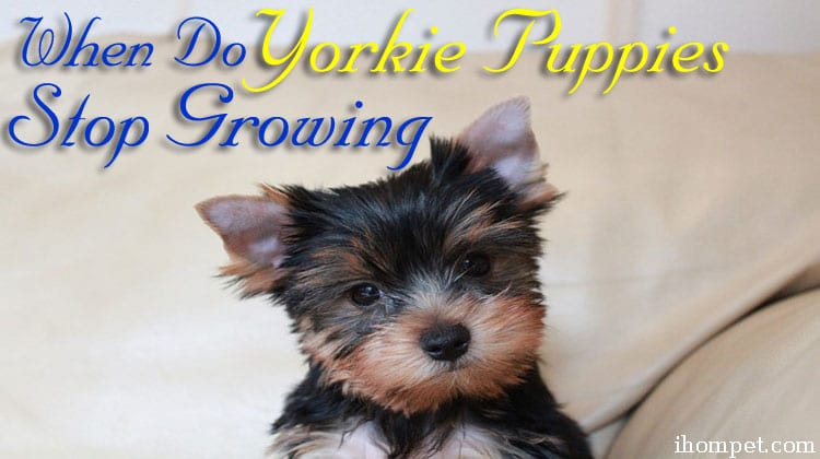 Yorkie Puppies Stop Growing