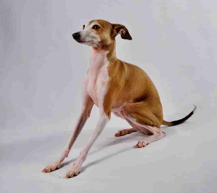 pitbull greyhound mix