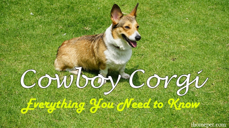 Cowboy Corgi Everything You Need To
