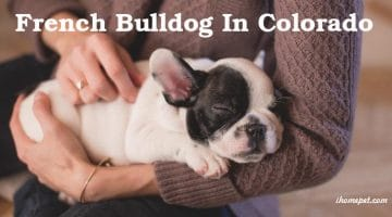 French Bulldog In Colorado: All You Need to Know