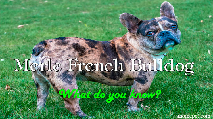 Merle French Bulldog (What do you know?)