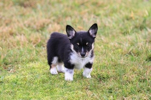 Cowboy Corgi: Everything You Need to Know Before Getting One