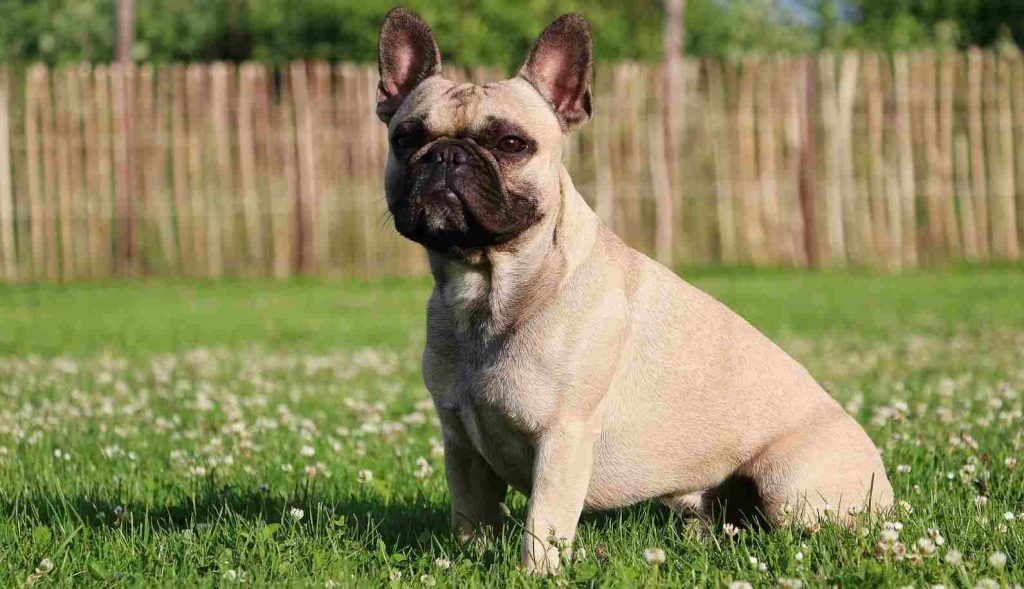 The Lilac French Bulldog All About The Rare And Adorable