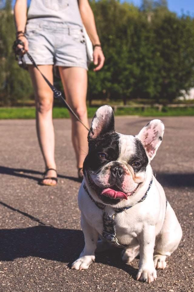 Merle French Bulldog (What do you know?) - iHome Pets