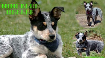 Mini Blue Heeler (Everything You Need to Know)