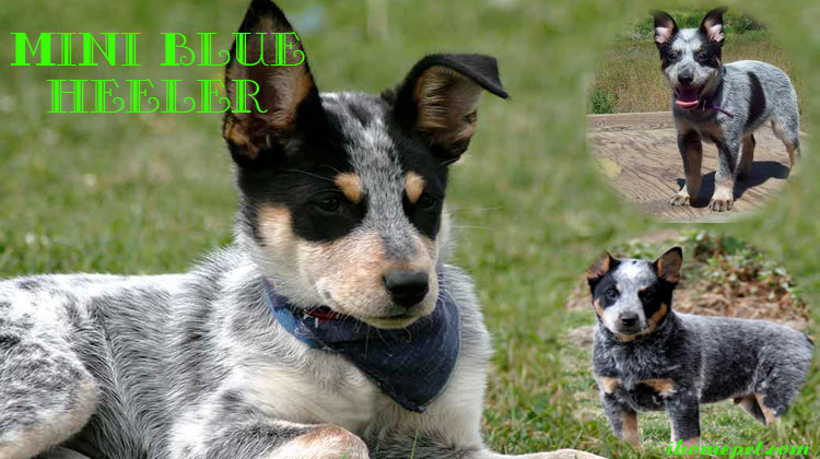 Mini Blue Heeler Everything You Need