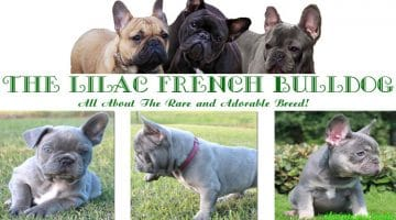 The Lilac French Bulldog: All About The Rare and Adorable Breed!