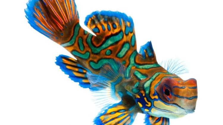 The Ultimate Guide on How to Take Care of a Mandarin Goby Fish