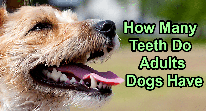 How many teeth does an adult dog have