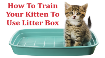 How to train kitten to use litter box