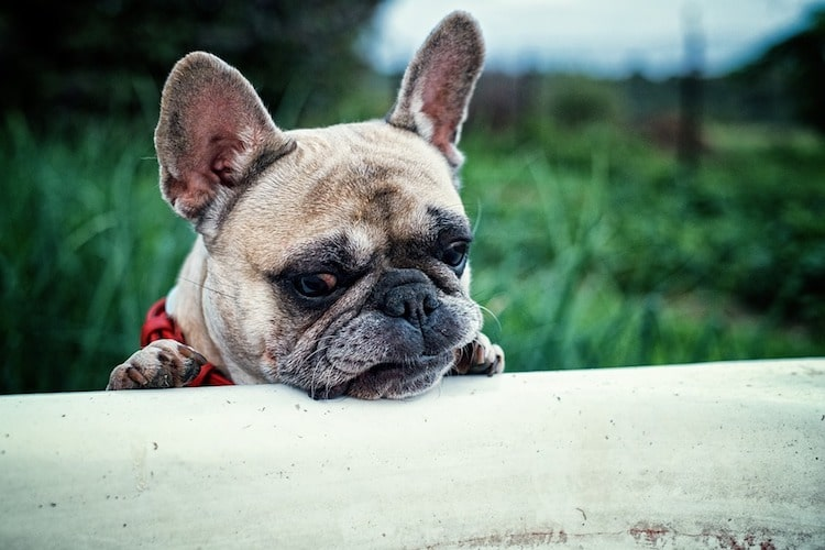 Cure white breed french bulldogs face