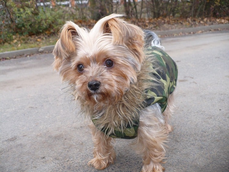 Mini puppy with a winter coat