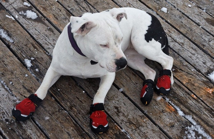 Pitbull using dog water resistant dog shoes