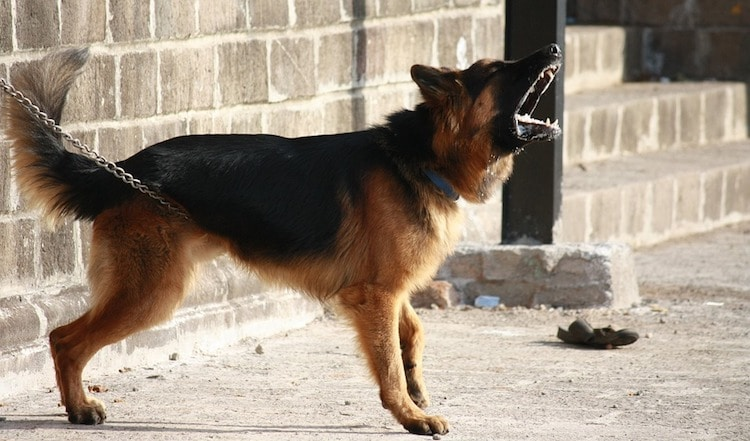 German shepherd barking and howling