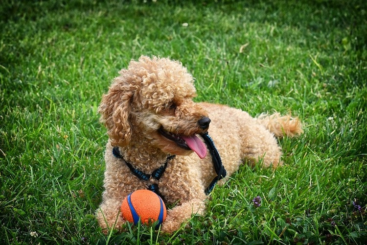 Playing with your dog can reduce anxiety