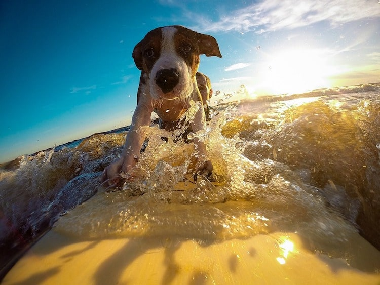 A dog surfing increases their focus and mental stimulation