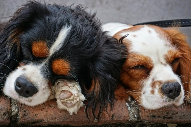 Two Pups Sleeping together