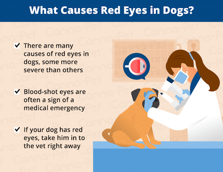 Causes of red eye on dogs