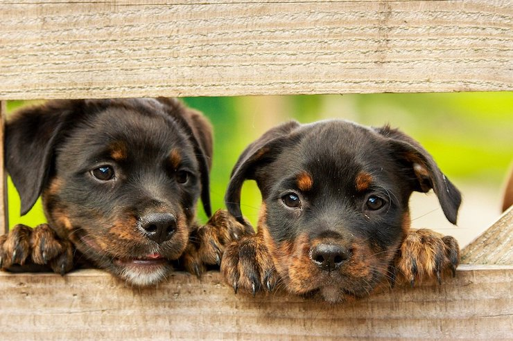 A trainable Rottweiler couple