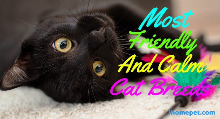 Friendly calm cat breeds
