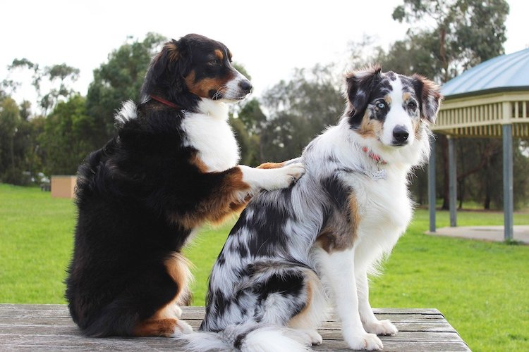 A dog massaging another dog at the park