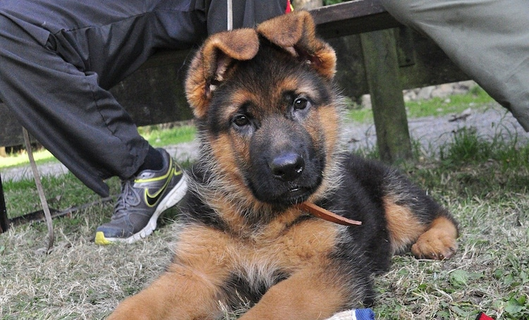 Lovely shepherd puppy with bended ears