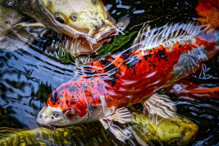 Beautiful koi fish at a pond