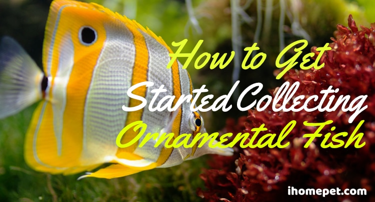 How to Get Started Collecting Ornamental Fish