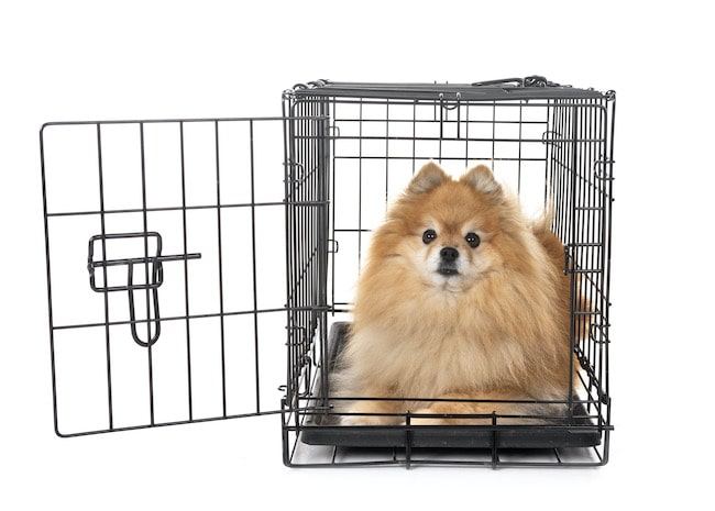 Pomeranian chilling inside of a crate